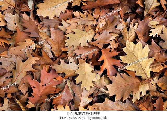 Northern red oak / champion oak (Quercus rubra / Quercus borealis) fallen leaves on the forest floor in autumn