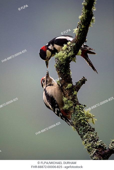 Great Spotted Woodpecker (Denrocopos major) feeding young. Ardnamurchan, Scotland