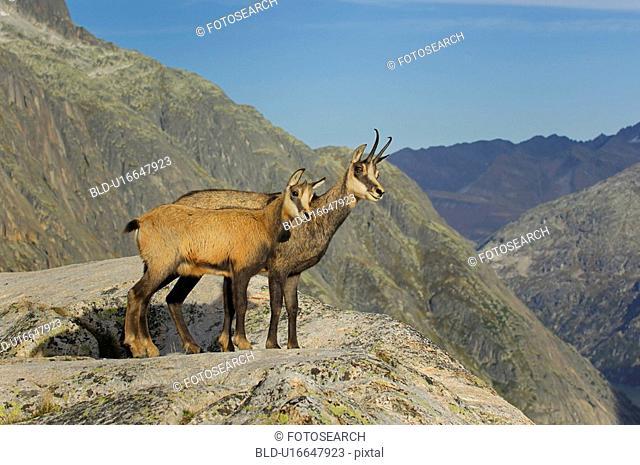 even-toed ungulates, animal, cornet, bernese, antlers, gaemse, alpentier