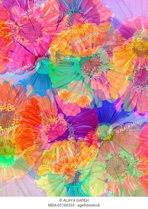 multicolor blossoms of mexican zinnia, poetic photographic layer work