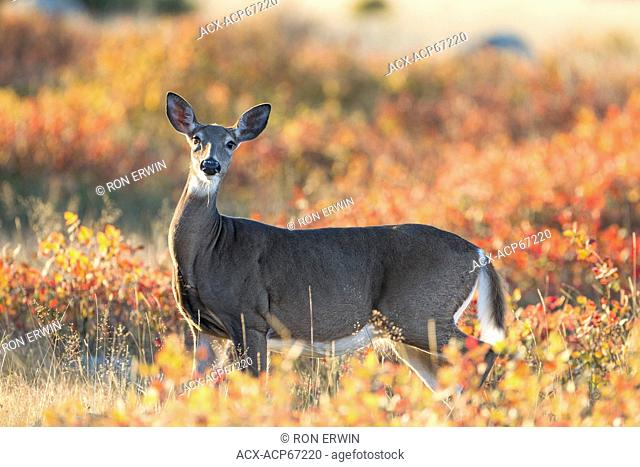 Female White-tailed Deer (Odocoileus virginianus) and Autumn foliage, Barrie Island, Manitoulin Island, Ontario, Canada