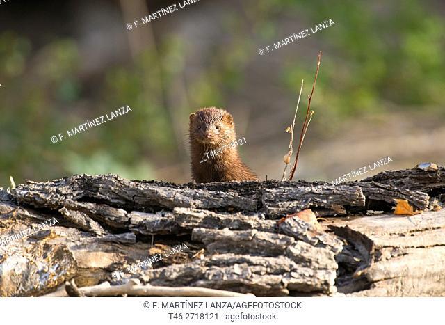American mink (Neovison vison), Madrid province, Spain