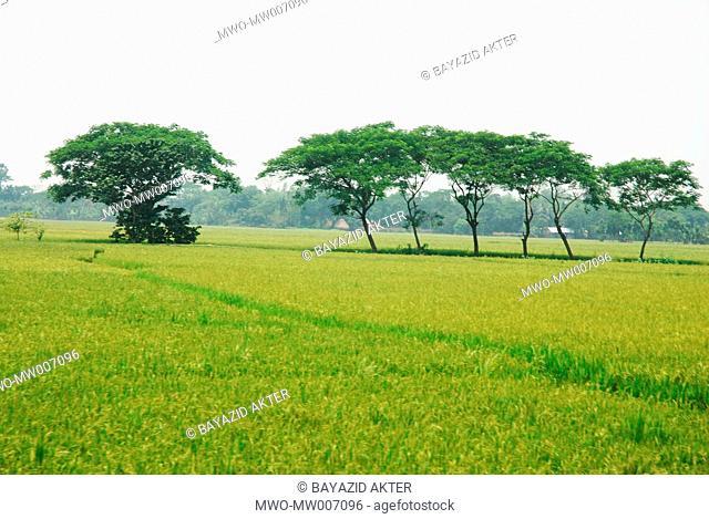 Bangladesh, the mosaic of green paddy fields Netrokona May 4, 2007