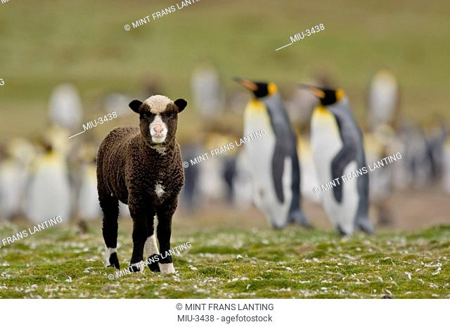 Sheep, Ovis aries, in king penguin colony, Aptenodytes patagonicus, Falkland Islands