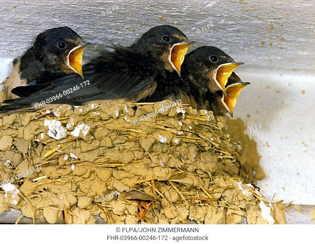 Barn Swallow Hirundo rustica young, begging for food, from nest in building, Switzerland, summer