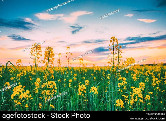 Sunset Sunrise Sky Over Spring Flowering Canola, Rape, Rapeseed, Oilseed Field Meadow Grass. Close Up Of Blossom Of Canola Yellow Flowers Under Dramatic Dawn...
