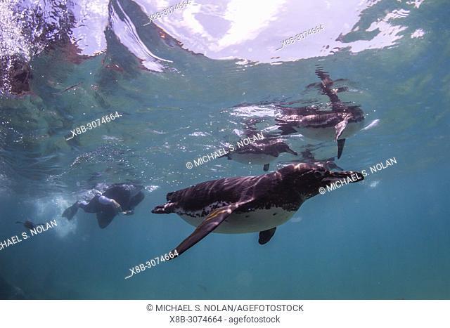 Lindblad Expeditions guest underwater with Galápagos penguins, Spheniscus mendiculus, at Bartolomé Island, Galápagos, Ecuador