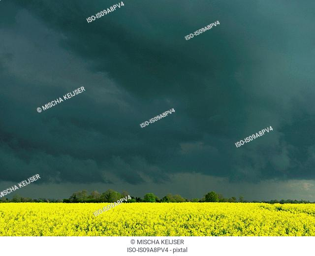 Oil seed rape field and storm clouds