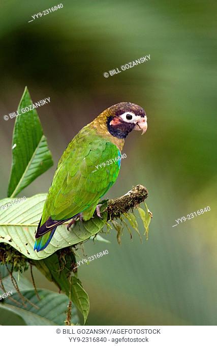 Brown-hooded Parrot (Pyrilia haematotis) - La Laguna del Lagarto Lodge - Boca Tapada, San Carlos, Costa Rica
