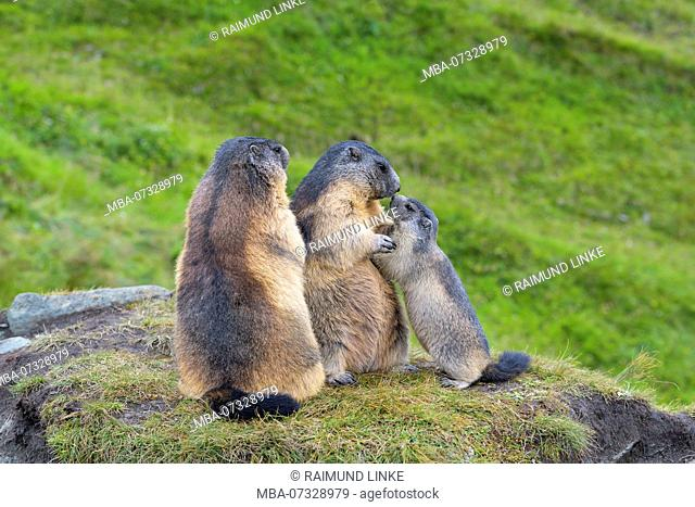 Alpine Marmot, Marmota marmota, two adults with young, Hohe Tauern National park, Austria
