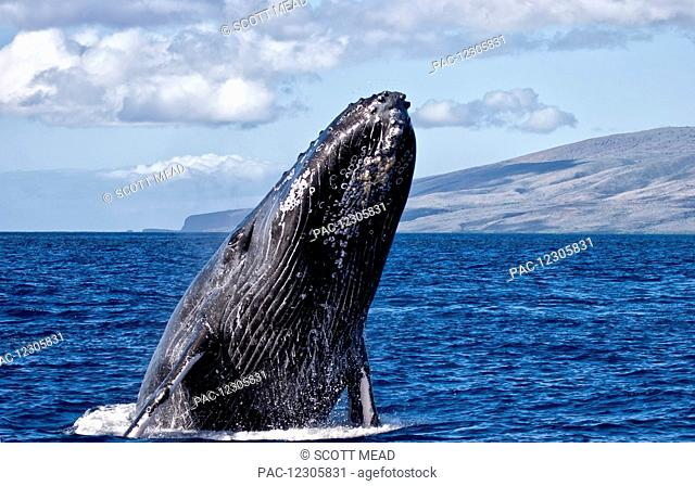 Humpback whale (Megaptera novaeangliae) breaching in the pacific ocean off a hawaiian island; Hawaii, United States of America