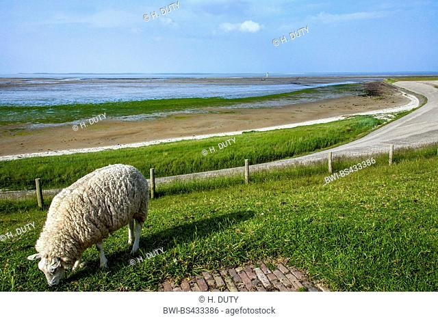 domestic sheep (Ovis ammon f. aries), grazes on the dyke, Netherlands, Texel, De Schicht