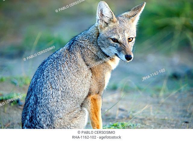 Grey fox (Lycalopex griseus), Peninsula Valdes, Patagonia, Argentina, South America