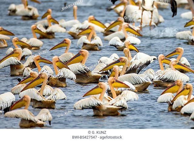 eastern white pelican (Pelecanus onocrotalus), swimming flock, Romania, Danube Delta