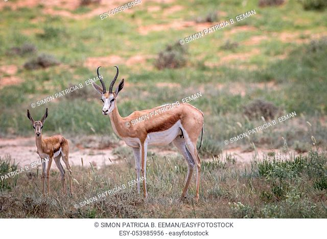 Starring Springbok in the Kgalagadi Transfrontier Park, South Africa