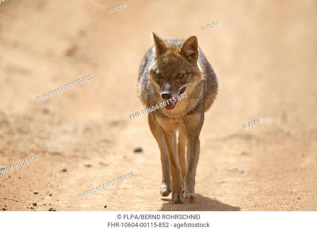 Golden Jackal Canis aureus adult, walking along track, Kanha N P , Madhya Pradesh, India