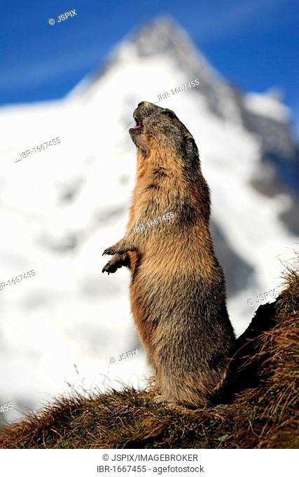 Alpine marmot (Marmota marmota), adult, calling, Grossglockner massif, Nationalpark Hohe Tauern national park, Austria, Alps, Europe