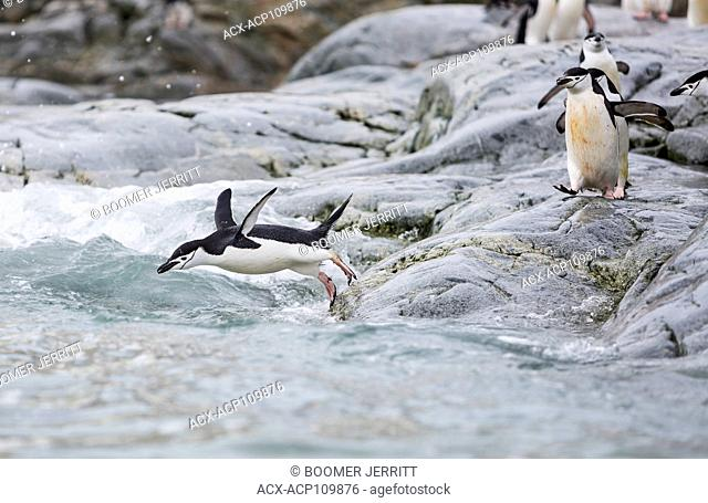 Chinstrap Penguins launch themselves into the surf off of a rocky headland, Cuverville, Antarctic Peninsula