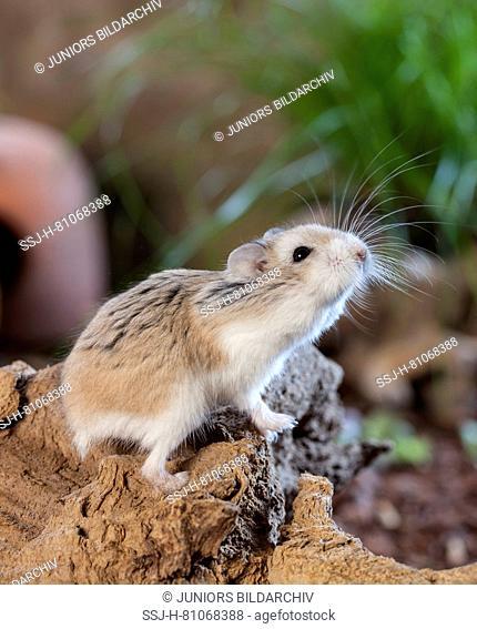 Roborovski Hamster (Phodopus roborovskii). Adult on a root, testing the air. Germany
