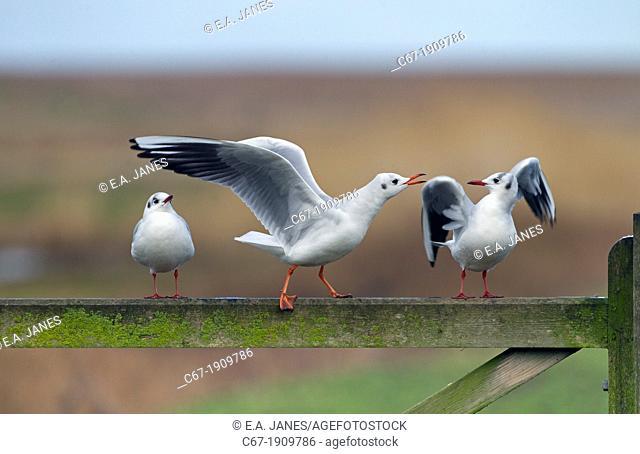 Black Headed Gull Larus Ridibundus group sitting on fence