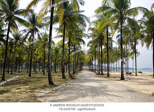 Salt sea water from 2004 tsunami turns coconut palm fronds yellow plantation Bang Niang Beach Khao Lak Thailand