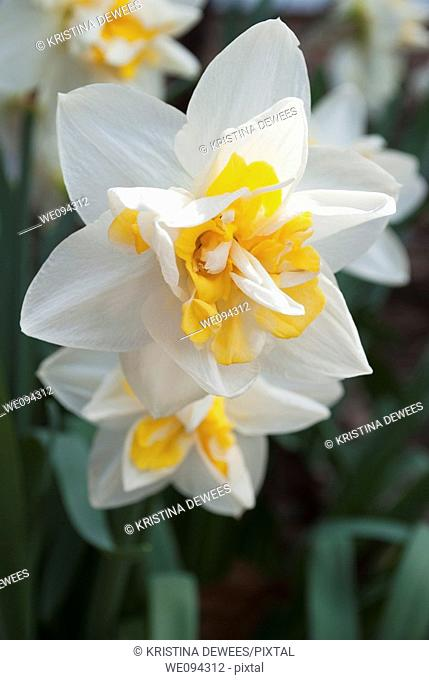 Double white daffodils with split yellow trumpets