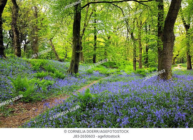 Path through carpet of Bluebells in Forest (Hyacinthoides non-scripta) in the spring, Seaton , Devon, England, Great Britan