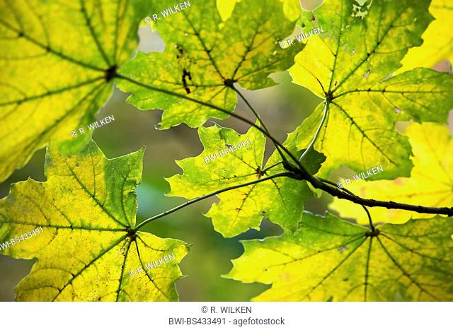 Norway maple (Acer platanoides), maple leaves in autumn, Germany, North Rhine-Westphalia