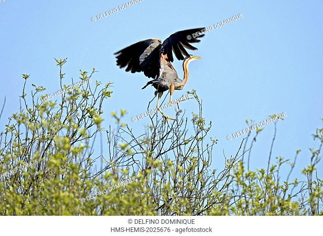 Romania, Danube Delta listed as World Heritage by UNESCO, Purple Heron (Ardea purpurea) flight of the wader branch on which he was perched