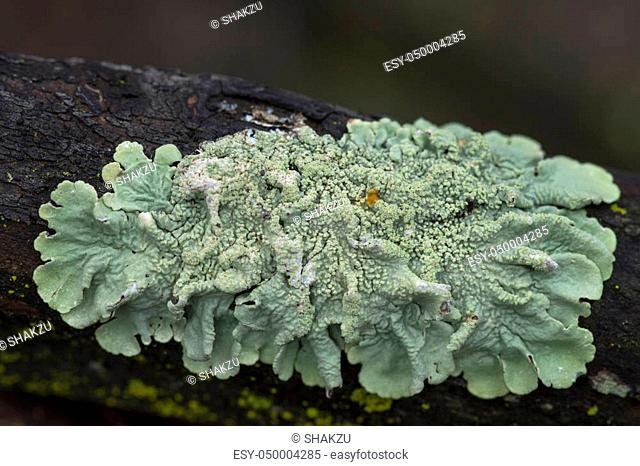 Macro closeup of Flavoparmelia caperata greenshield lichen on damp manzanita branch in southern California