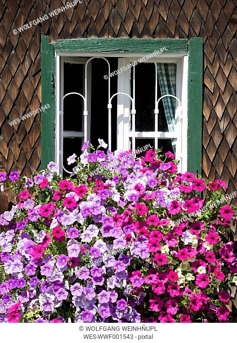 Austria, Land Salzburg, Flachgau, Berndorf, Flowers on window