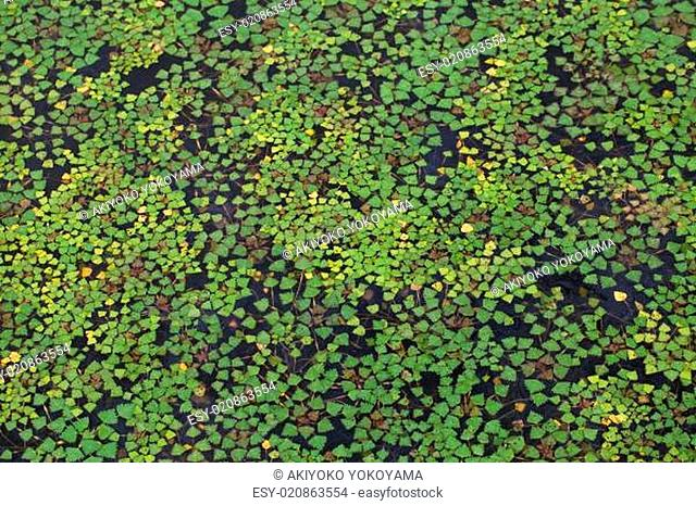 Water surface covered with duckweed