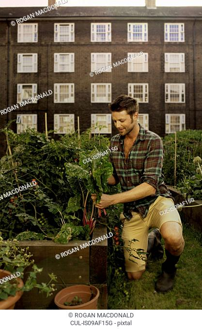 Mid adult man harvesting vegetables on council estate allotment
