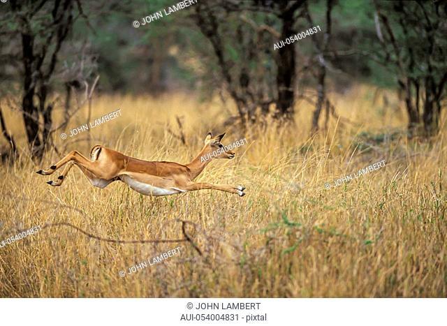 tanzania, serengeti national park: female impala running