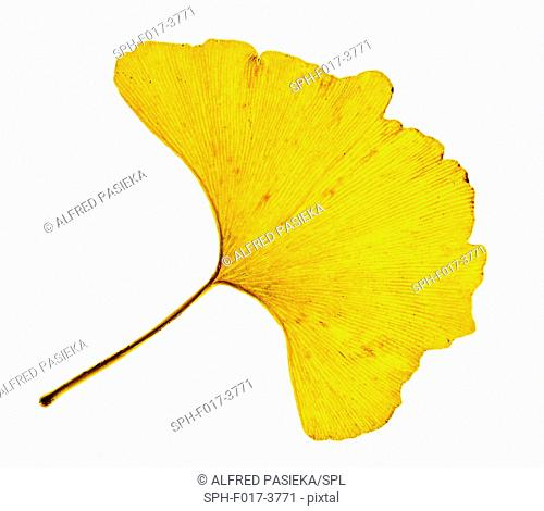 Ginkgo leave in autumn. Leaves of the Chinese maidenhair tree (Ginkgo biloba). This two-lobed leaf is unique among trees