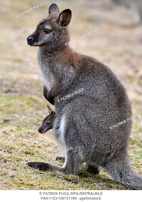 "14.03.2018, Brandenburg, Serwest: An approximately five-month-old Bennett kangaroo looks out of his mother's bag on the farm """"Alpakas vom Kloster Chorin"""" by..."