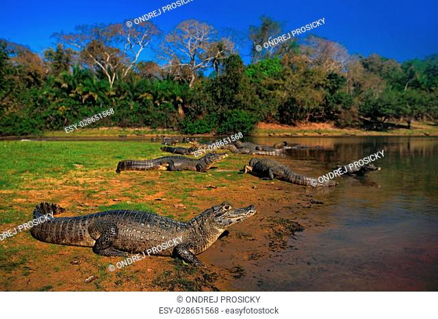 Caiman, Yacare Caiman, crocodiles in the river surface