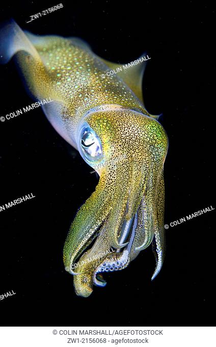 Bigfin Reef Squid (Sepioteuthis lessoniana) during night dive at Batu Angus dive site in Lembeh Straits in Sulawesi in Indonesia