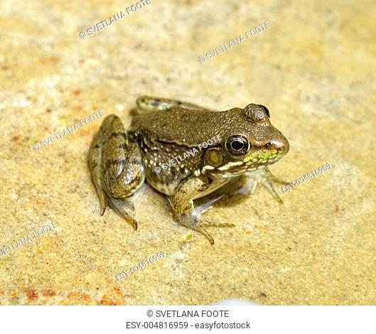 water green frog