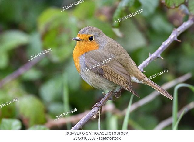 European Robin, perched on a branch, Campania, Italy (Erithacus rubecula)
