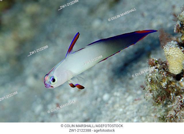 Decorated Dartfish (Nemateleotris decora) at Nyata North Wall dive site off Nyata Island near Alor in eastern Indonesia