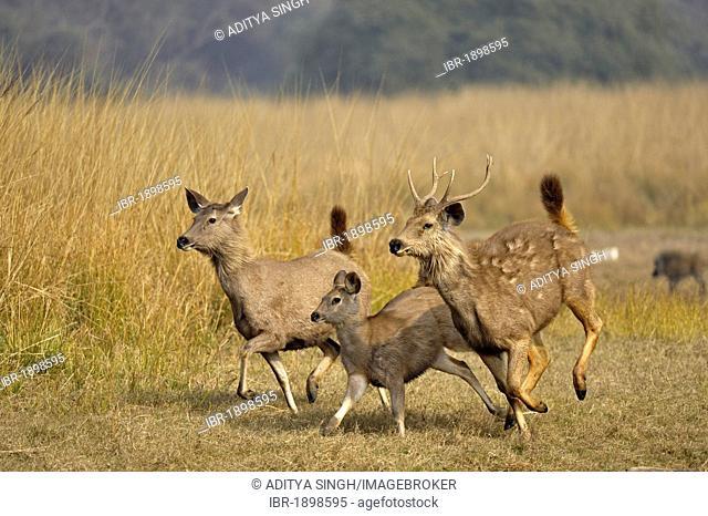 Sambar Deer (Cervus unicolor niger) running in Ranthambore National Park, Rajasthan, India, Asia