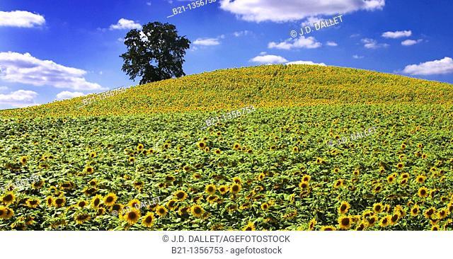 Sunflowers field near Bazian, Gers, Midi-Pyrenees, France