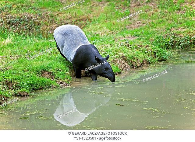 MALAYAN TAPIR tapirus indicus, ADULT ENTERING WATER