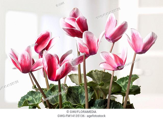 CYCLAMEN PERSICUM RED WHITE