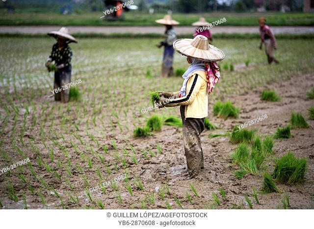 female workers in a rice field at the Harau Valley, Sumatra, Indonesia