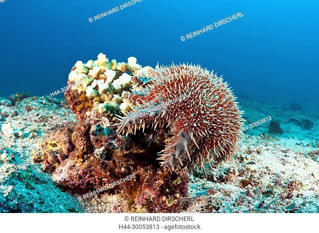 Panamic Crown of Thorns Starfish, Acanthaster ellisii, La Paz, Baja California Sur, Mexico