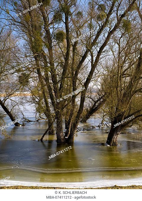 Germany, Brandenburg, Uckermark, Criewen, Lower Oder Valley National Park, winter day in the Oder meadow, ice rink, willow trees, mistletoe balls