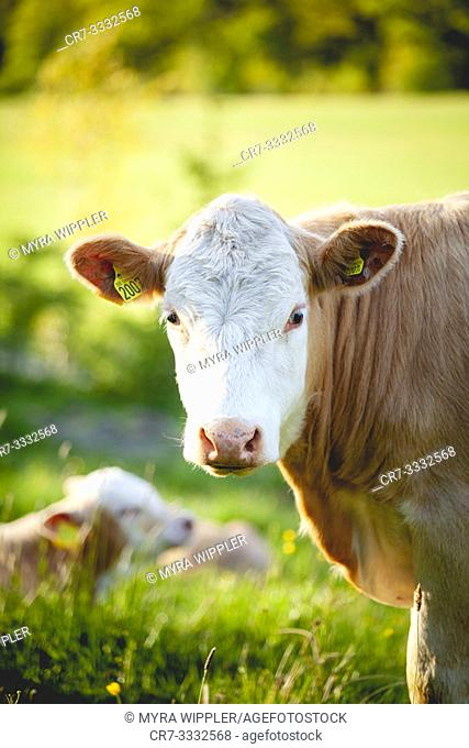 Young cow with white face