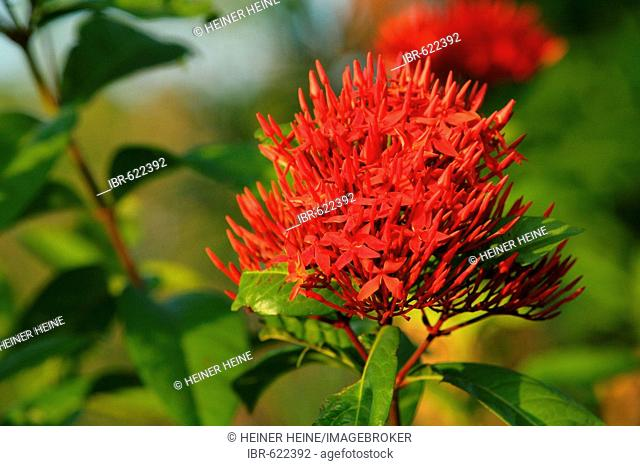 Jungle Geranium or Flame of Woods or Jungle Flame (Ixora coccinea L.), species from the Madder- or Coffee family (Rubiaceae), Guyana, South America